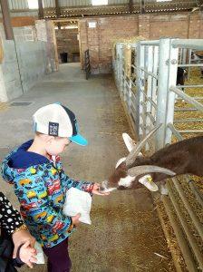 Playdale Farm, Cayton, Yorkshire Coast, feeding goats